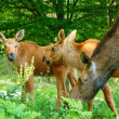 Stock Photo: Elk family