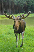 Elk, moose — Stock Photo