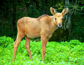 Baby elk — Stock Photo