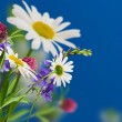 Stock Photo: Daisywheel flowers