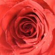 Rose red — Stock Photo