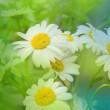 Daisywheels weiß — Stockfoto
