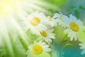 Daisywheels white — Stock Photo