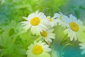 Daisywheels beyaz — Stok fotoğraf