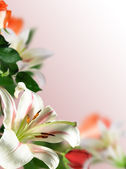 Flowers lily — Stock Photo