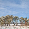 Pine trees at edge of frozen lake — Stock Photo