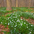 Wood anemone spring forest — Stock Photo