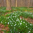 Wood anemone spring forest - Stock Photo