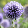 Purple flower head — Stock Photo