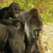 Постер, плакат: Mother and baby gorillas