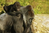 Mother and baby gorillas — Stock Photo