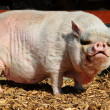 Big Vietnamese pot-bellied pig - Stock Photo
