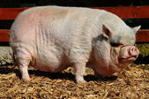 大越南大肚猪 — 图库照片