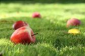 Fallen apples. — Stock Photo