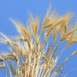 Wheat stems. — Stock Photo #4797505