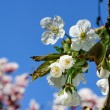 Cherry blossom. — Stock Photo