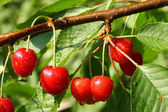Ripe cherries — Stock Photo