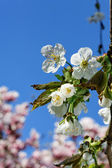Cherry blossom. — Stock Photo