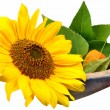 Flowers-Sunflower — Stock Photo