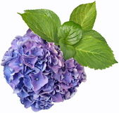 Flowers-Hydrangea — Stock Photo