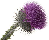 Flowers-Thistle — Stock Photo