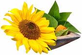 Fleurs-tournesol — Photo