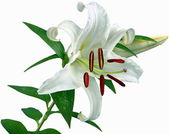 Flowers-Lily — Foto Stock