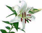 Flowers-Lily — Zdjęcie stockowe