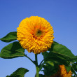 Stock Photo: Big yellow sunflower
