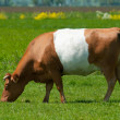 Brown lakenvelder cow - Foto Stock