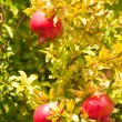 Pomegranate in tree - Stock Photo