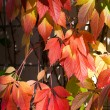 Colorful autumn leafs — ストック写真