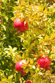 Pomegranate in tree — Stock Photo