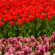 Red tulips and hyacinths — Foto Stock
