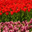 Red tulips and hyacinths — Stockfoto