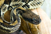 Blacktail rattlesnake — Stock Photo
