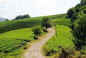 Dirt road through tea plantations — Stock Photo