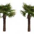 Stock Photo: Windmill palms