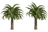 Wild date palms — Stock Photo