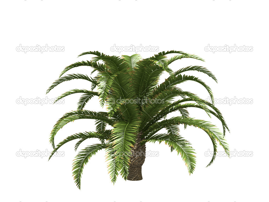 Canary date palms isolated on white — Stock Photo #5106350