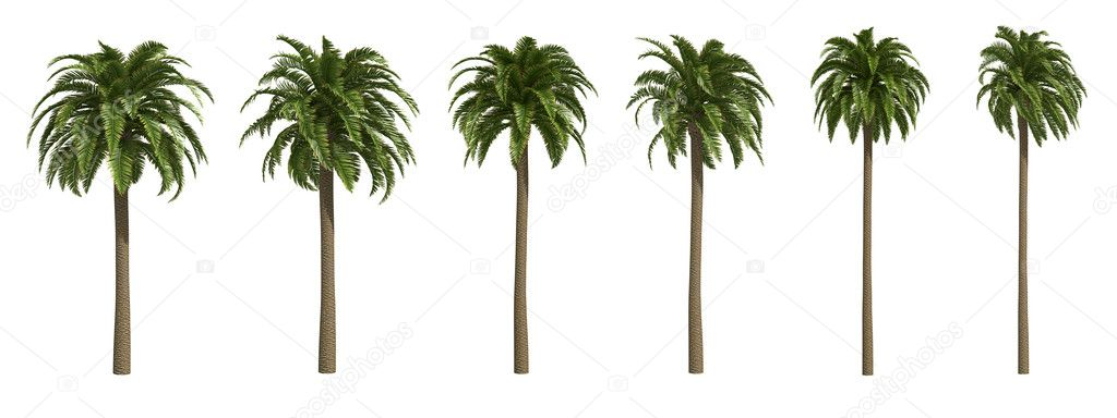 Canary date palms isolated on white  Stock Photo #5106356
