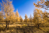 Yellow forest under fall blue sky — Stock Photo