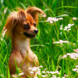 Dog toy terrier in green grass — Stock Photo