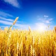 Golden wheat field with blue sky in background — Stok fotoğraf