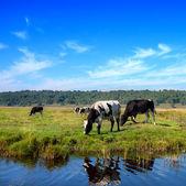 Herd of cows grazing in meadow — Stock Photo