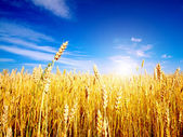Golden wheat field with blue sky in background — Photo