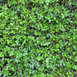 Stock Photo: Background Texture Of Lush Green Hedge