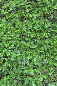Background Texture Of A Lush Green Hedge — Stock Photo