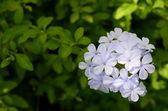 青、石墨花の葉を背景 — ストック写真