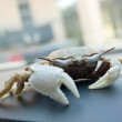 Life crab on the dashboard — Stock Photo